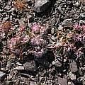Allium falcifolium, white/pink, Nhu Nguyen
