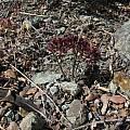 Allium fimbriatum, Nhu Nguyen