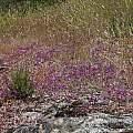 Allium fimbriatum var. fimbriatum, Nhu Nguyen