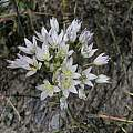 Allium fimbriatum var. purdyi, Bear Valley, Mary Sue Ittner