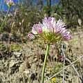 Allium fimbriatum var. purdyi, Bear Valley, Mary Sue Ittner