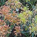 Allium flavum ssp. tauricum 'Cantaloupe' and 'Tan', Mark McDonough