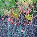 Allium flavum ssp. tauricum 'Hot Molasses', Mark McDonough