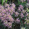 Allium flavum ssp. tauricum 'Lindsey', Mark McDonough