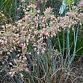 Allium flavum ssp. tauricum 'Silver Shrimp', Mark McDonough
