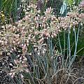 Allium flavum ssp. tauricum 'Silver Shrimp', Mark McDonough