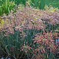Allium flavum ssp. tauricum 'Boston Baked Beans', Mark McDonough