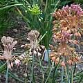 Allium flavum ssp. tauricum, Mark McDonough