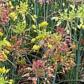 Allium flavum ssp. tauricum, Mark McDonough [Shift+click to enlarge, Click to go to wiki entry]