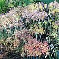 Allium flavum ssp. tauricum - mixed colors in the morning, Mark McDonough