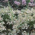 Allium flavum ssp. tauricum 'Pastel Parasol', Mark McDonough
