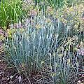 Allium flavum ssp. tauricum 'Truely Faded', Mark McDonough