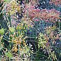 Allium flavum ssp. tauricum - mixed colors, Mark McDonough
