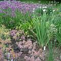 Alliums in the garden, Mark McDonough