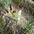 Allium glandulosum, Wietse Mellema