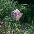Allium guttatum ssp. dalmaticum, Mark McDonough