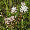 Allium haematochiton, Mary Sue Ittner