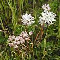 Allium haematochiton, Mary Sue Ittner