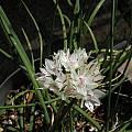 Allium haematochiton, Bob Rutemoeller