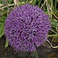 Allium hollandicum, David Pilling