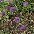 Allium hollandicum, David Pilling