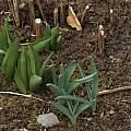Allium hollandicum shoots (right) compared with tulips, David Pilling