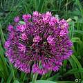 Allium hollandicum 'Purple Sensation', Janos Agoston [Shift+click to enlarge, Click to go to wiki entry]