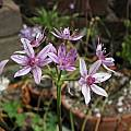 Allium hyalinum, pink form, Nhu Nguyen