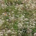Allium hyalinum, white form, Tilden Botanic Garden, Nhu Nguyen