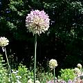Allium hymenorrhizum, Mark McDonough [Shift+click to enlarge, Click to go to wiki entry]
