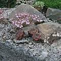 Allium sibthorpianum and Allium flavum ssp. tauricum, Mark McDonough