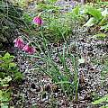 Allium insubricum, Mark McDonough