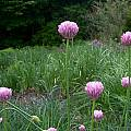 Allium jacquemontii, Mark McDonough [Shift+click to enlarge, Click to go to wiki entry]