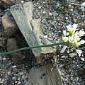 Allium jepsonii, Mark McDonough