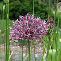 Allium jesdianum ssp. angustitepalum, Mark McDonough [Shift+click to enlarge, Click to go to wiki entry]