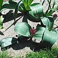 Allium karataviense, Mark McDonough
