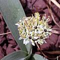 Allium kharputense, John Lonsdale [Shift+click to enlarge, Click to go to wiki entry]