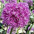 Allium komarowii, Wietse Mellema [Shift+click to enlarge, Click to go to wiki entry]