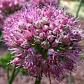 Allium kurssanovii, John Lonsdale [Shift+click to enlarge, Click to go to wiki entry]