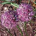 Allium kurssanovii, John Lonsdale