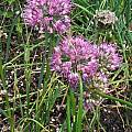 Allium kurssanovii, Mark McDonough