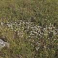 Allium lacunosum var. lacunosum, Nhu Nguyen