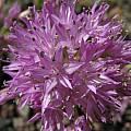 Allium lemmonii, Nhu Nguyen [Shift+click to enlarge, Click to go to wiki entry]
