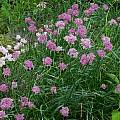Allium lineare, Mark McDonough