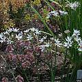 Allium mannii, Mark McDonough [Shift+click to enlarge, Click to go to wiki entry]
