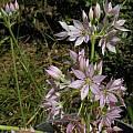 Allium membranaceum, Mary Sue Ittner