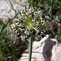 Allium meronense fruit, Gideon Pisanty