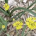 Allium moly, Ernie DeMarie
