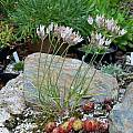 Allium moschatum, Mark McDonough [Shift+click to enlarge, Click to go to wiki entry]