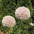 Allium myrianthum, Rimmer de Vries